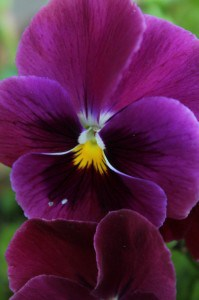 purple pansy bright vertical