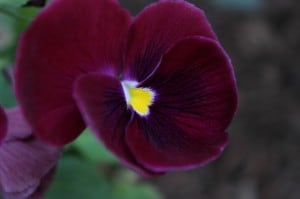 purple pansy cup shaped
