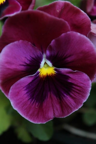 purple pansy vertical 1